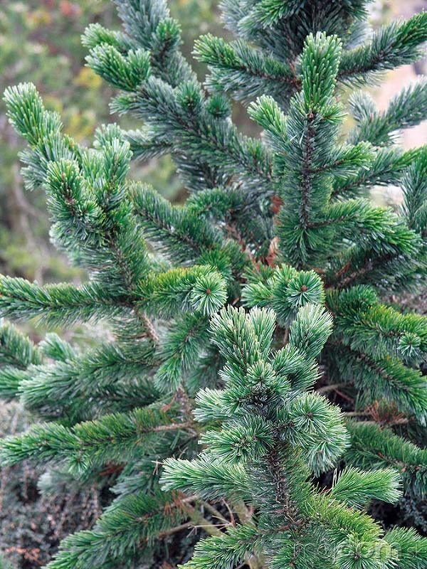 Borovicu ostitú (Pinus aristata)