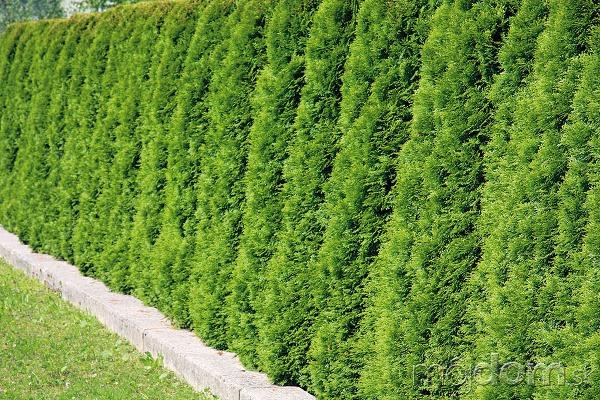Ihličnanmi možno oddeliť záhradu
