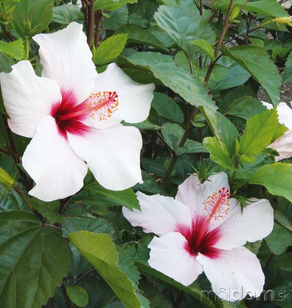 Ibištek (Hibiscus rosa-sinensis) sa