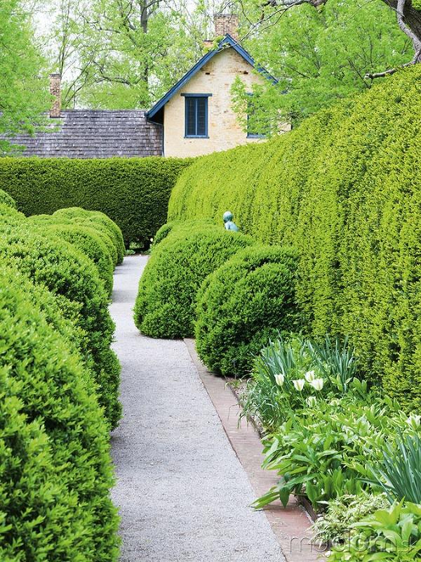 Vždyzelený krušpán (Buxus sempervirens)