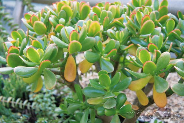 Tučnolist (Crassula portulacea) nevyžaduje