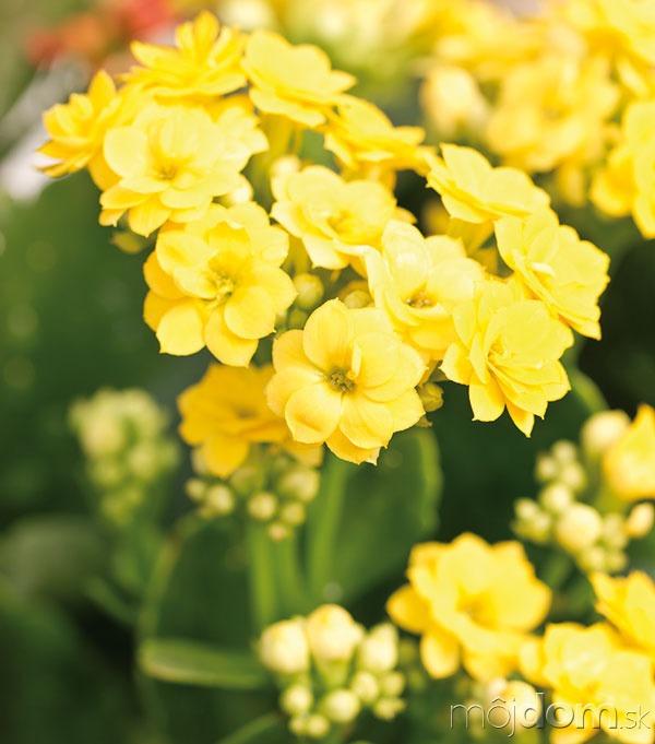 Kalanchoe (Kalanchoe blossfeldiana) je