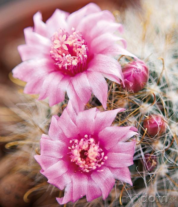 Kaktusy sú pre detských