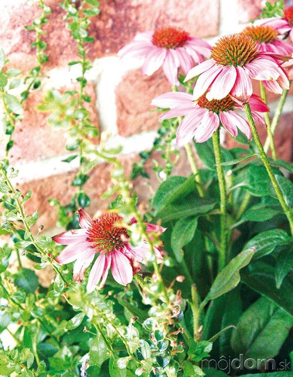 Echinacea (Echinacea) krásne kvitne