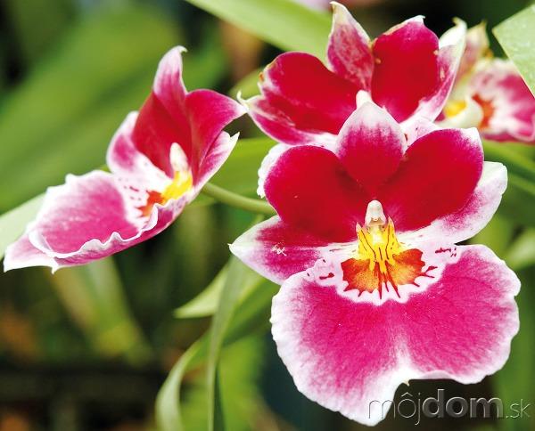 Orchidey patria kmimoriadne obľúbeným