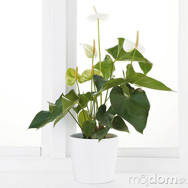 Antúria vkvetináči, výška 35