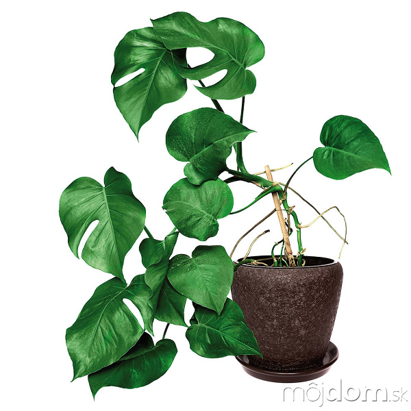 Nenáročné izbové rastliny, ktoré