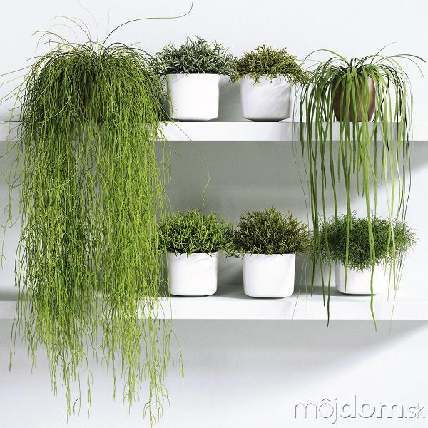 Živá rastlina Rhipsalis, priemer