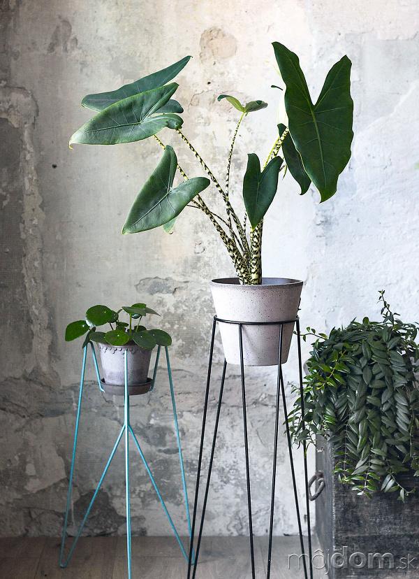 izbové rastliny alokázia
