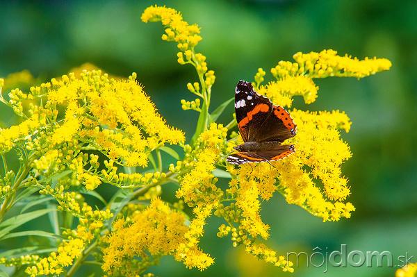 motýľ na kvetoch