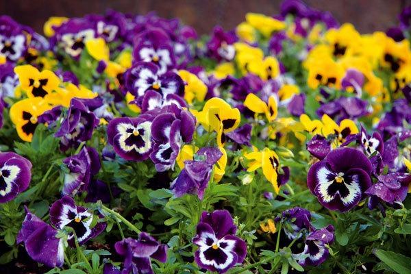Na jar okolo domu na balkóne alebo na terase záplavu kvetov vysaďte