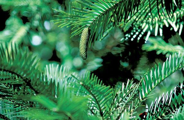 Wollemi Pine – pozdrav