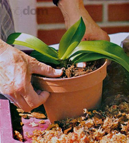 Upravenú rastlinu vsaďte do