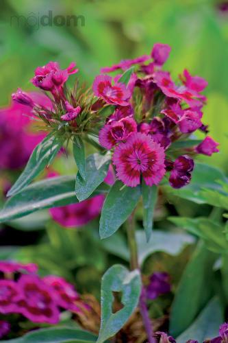 Klinček bradatý (Dianthus barbathus)
