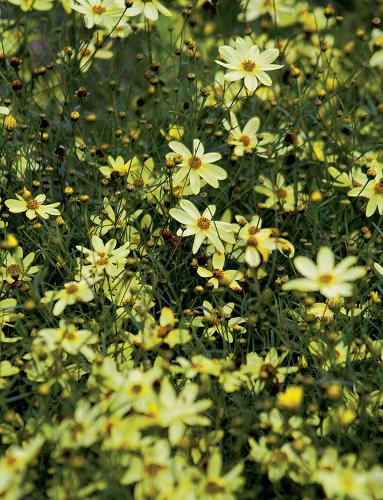 Kráska praslenová (Coreopsis verticilata)