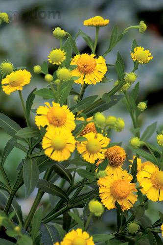 Helenium (Helenium autumnale 'Yellow')