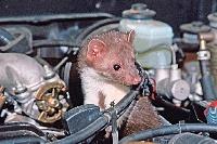 Kuna pod kapotou auta je vždy nezvaný hosť.