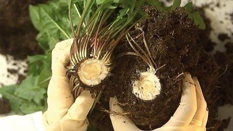 Guma z koreňa púpavy