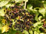Plody bazy čiernej