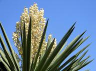 Rastlina Yucca. (Foto: gettyimages.com)