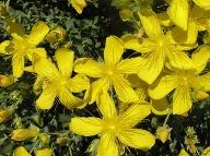 Kvet ľubovníka. Foto: I.