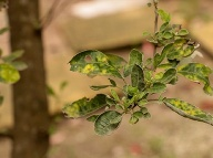 Vitex trifolia. Foto: Gettyimages.com