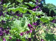 Rastlina slezu maurského.