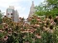 Echinacea v New Yorku.