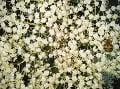 Súkvetie bazy čiernej. Foto: archív Ivana Šalamona