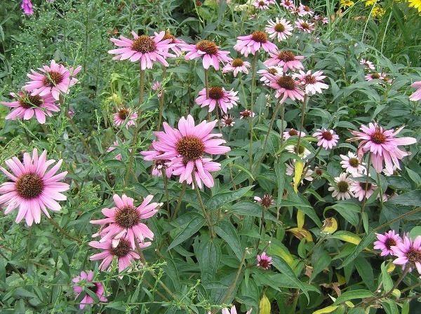 Echinacea – tajomstvo indiánskych