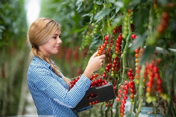 Chutné paradajky začiatkom jari?