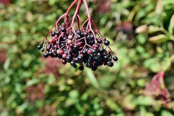 Posvätná rastlina zo stredovekých