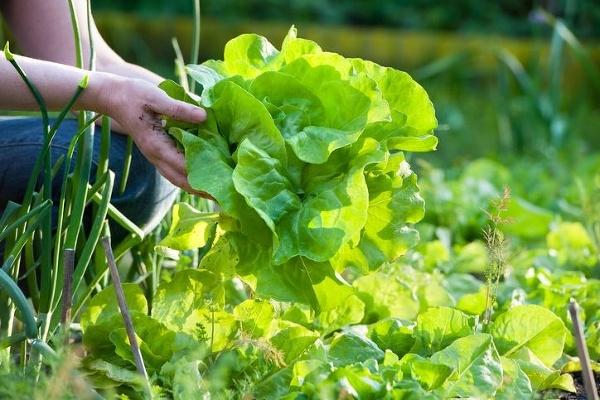 Dajte zelenú hlávkovému šalátu: